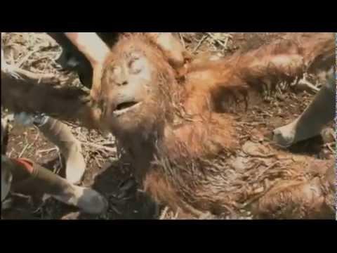 Green - An Orangutan's journey - a film by Patrick Rouxel - Winner of Best Short Documentary