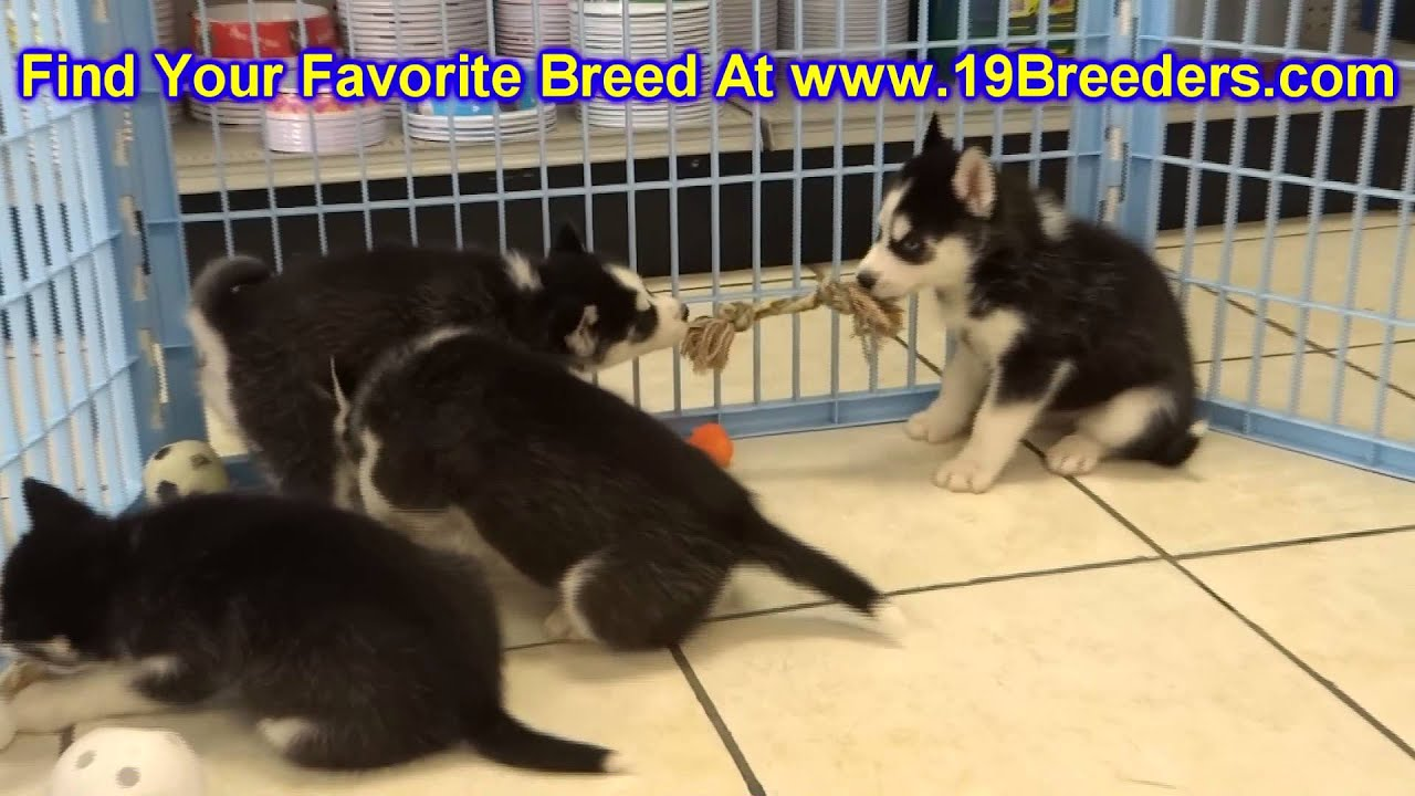 Siberian Husky Puppies For Sale In Portland Maine ME