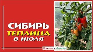Моя теплица 8 июля. Собираем урожай!