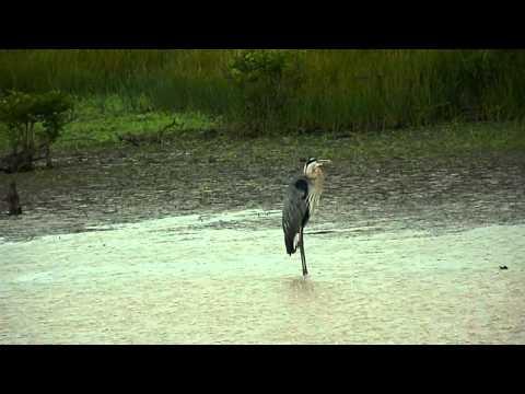 Scenes of Birds on Blackwater National Wildlife Refuge