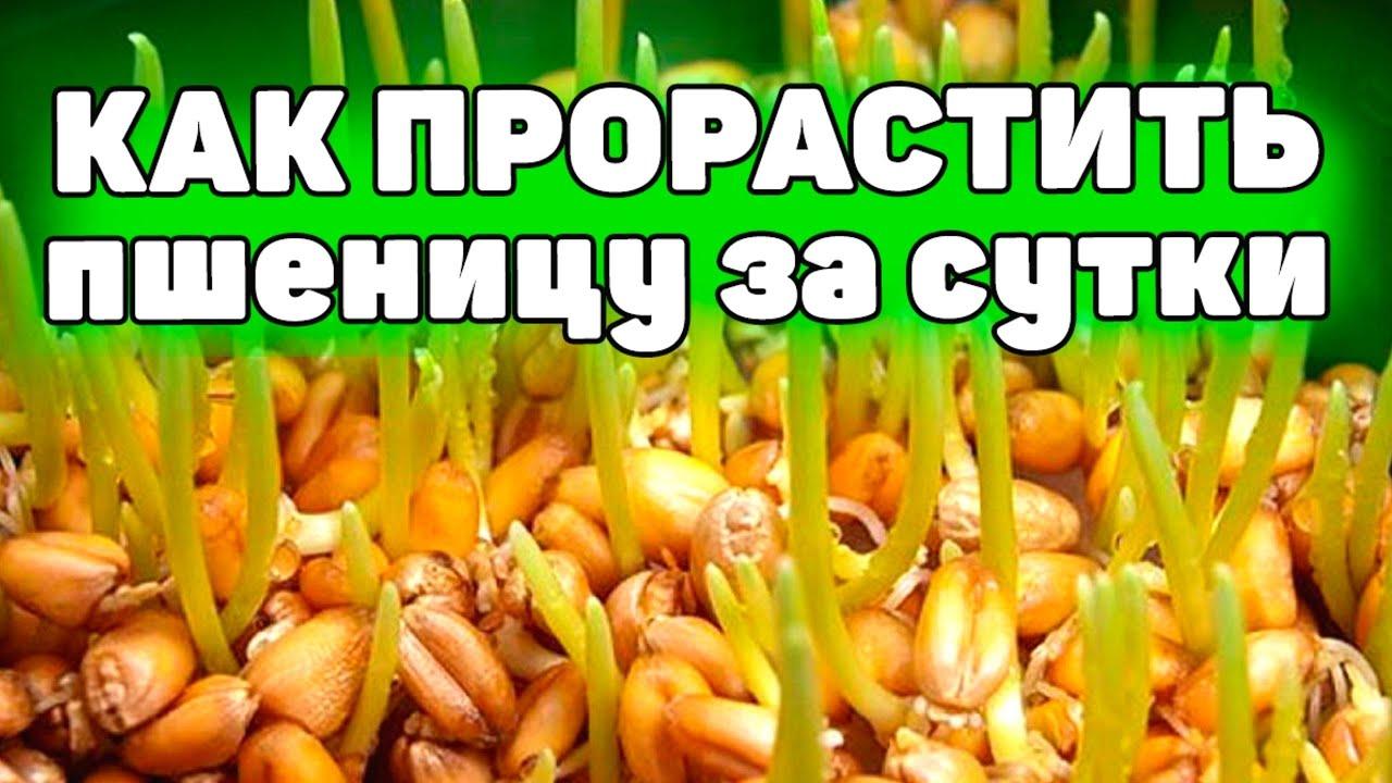 Как правильно проращивать пшеницу для питания и всего за сутки