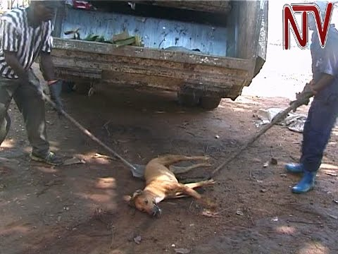 Mbale municipal authorities poison stray dogs