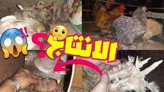 تريش سيقان الدجاج البراهما / الجزء الثاني / كيف يمكنني جعل انتاج الحمام شهري