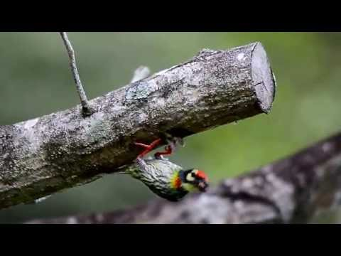 Coppersmith Barbet-Singapore