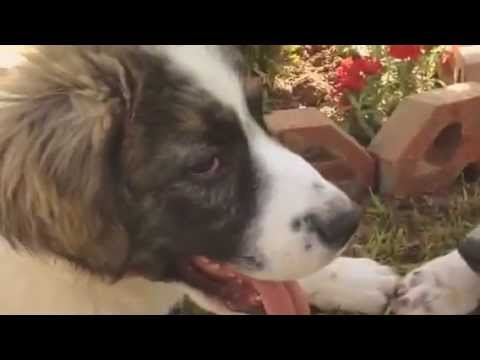 extremely cute caucasian ovcharka - alabai mixed breed puppies