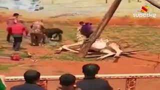 Кытайда бакка сүйкөнүп жаткан жираф эки бутактын ортосуна кыпчылып өлдү