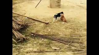 Two  puppies fighting..
