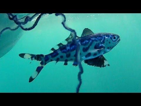 Man of war fish youtube for Battle fish 2
