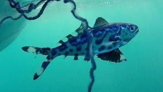 Man of War Fish