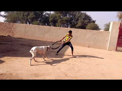 HOW TO TRAIN YOUR DOG FOR FIGHT/GRIP ||by Ankit Rao ||