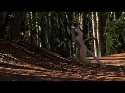 Lemur ballet - Nature's Greatest Dancers: Episode 2 Preview - BBC One