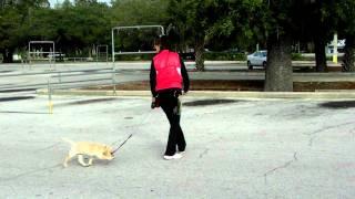 Puppy Flexi Leash Training Lab Puppy Cheddar For Sale