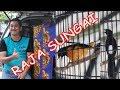 Juara  Murai Batu Kalbar Raja Sungai Kebablasan Nyuarakan Cililin Panjang  Mp3 - Mp4 Download