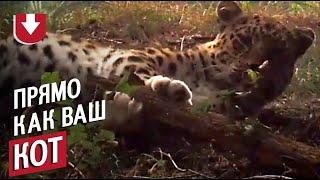 Леопард играет, как домашний кот!