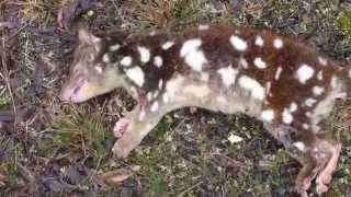 Tiger Cat or Tiger Quoll by 8 Figure Adventurers