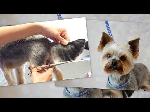 PetGroooming - Yorkie Full Grooming #78