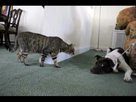 Viva the Puppy meets Bella the Cat for the first time