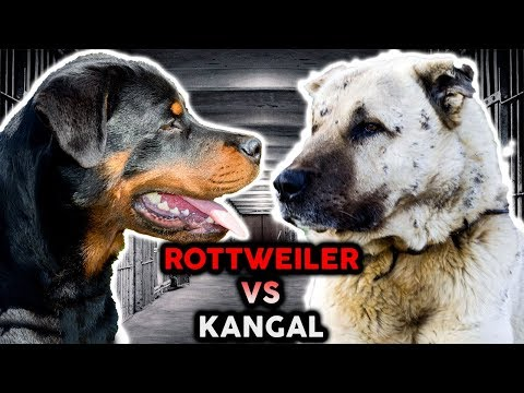 ROTTWEILER VS KANGAL! The Best Guard Dog Breed!