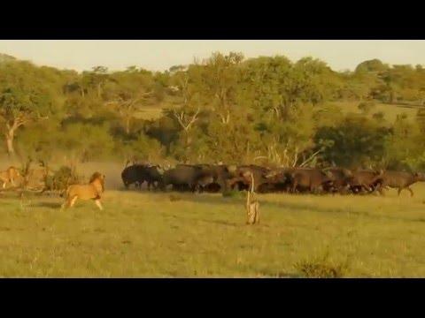 Four lions kill three buffalo!!!! Djuma - Sabi Sands