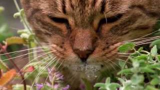 How catnip gets cats high