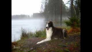 Все породы собак.Борзая Русский волкодав, Russian Wolfhound (Borzoi)