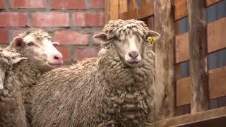 Antamina: Comuneros de Cátac se capacitan en mejoramiento genético para la ganadería ovina