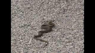 The juvenile Aesculapian Snake (Zamenis longissimus).