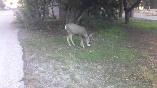 Huge Mule Deer in Trailer Village