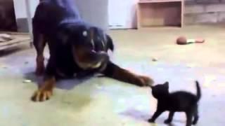 Храбрый Котенок Стоит До Собак