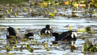 the-american-coot