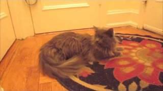 Winnie the Cat in a Santa Hat