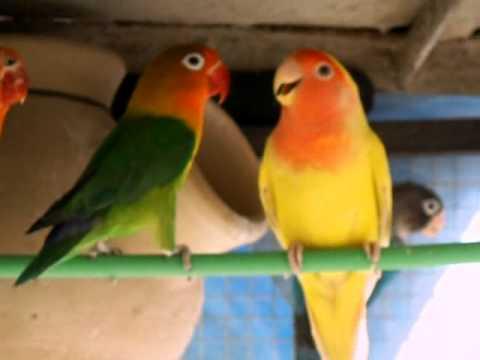 how to catch love birds