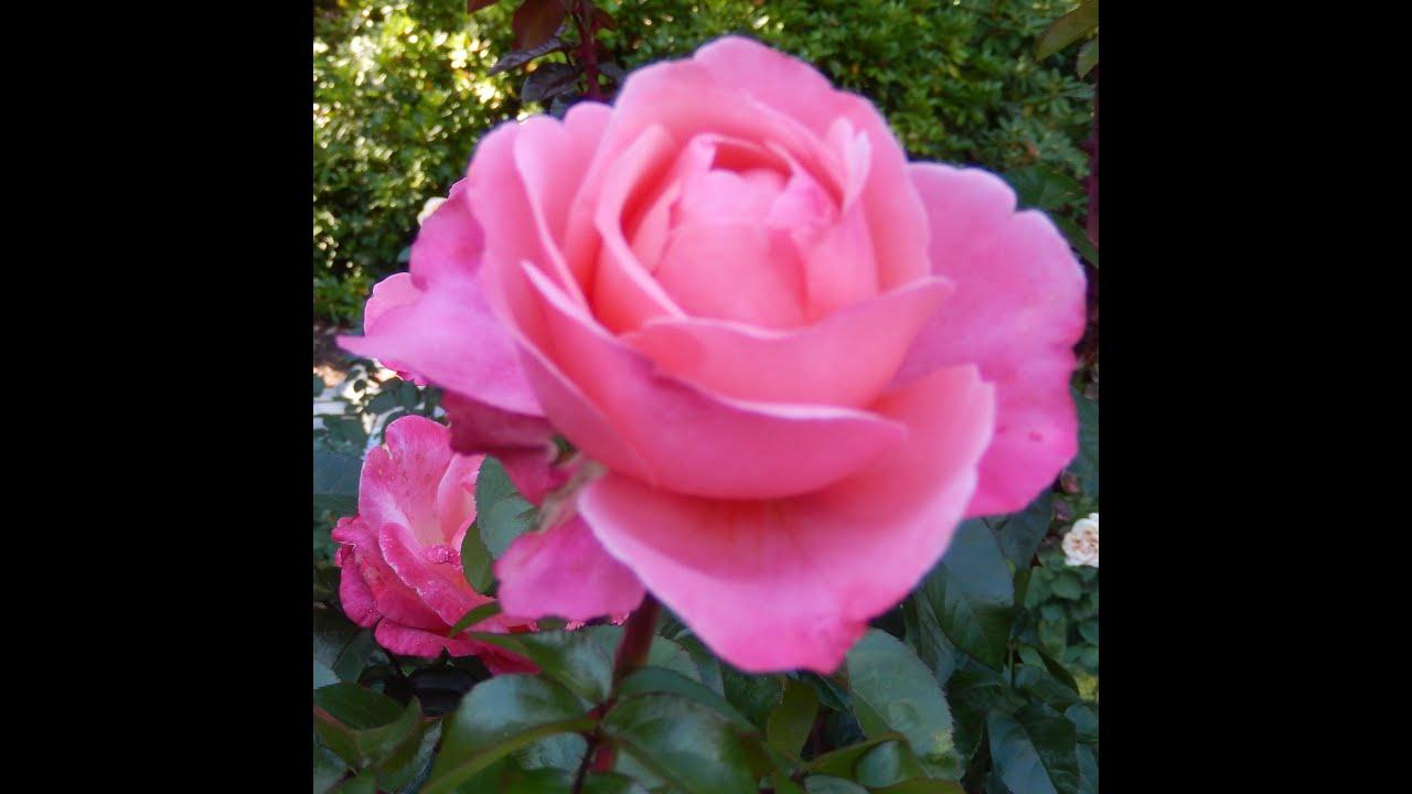 Beautiful Rose Garden Of 2015 Portland Or Doovi