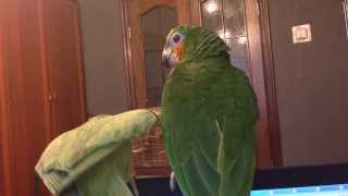 Как говорит Ожереловый попугай Веня