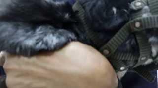 Anal Sacculitis & Ringworm In An American Cocker Spaniel 3/3