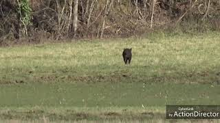 Vidéo de chasse aux sangliers dans le gers