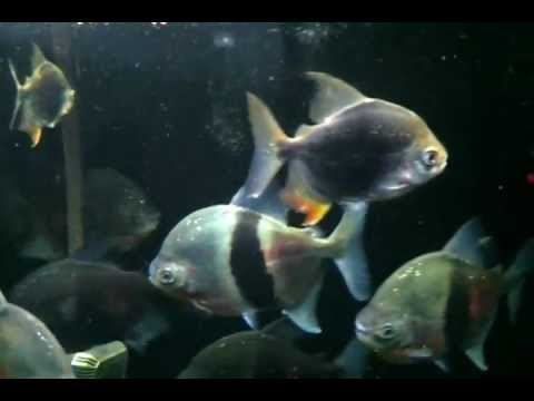 Metynnis myleus mylossoma doovi for Silver dollar fish for sale