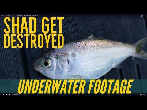 Bass Feeding on Shad - Big Bass Dreams Underworld