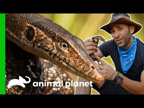 How To Catch A Monitor Lizard   Coyote Peterson: Brave The Wild