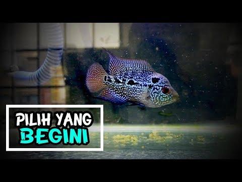 Ikan Hias 5 Tips Memilih Anakan Ikan Louhan Youtube