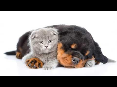 Curiosidades sobre Rottweiler -Top 10 Curiosidades sobre los perros Rottweiler