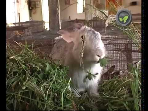 Rabbit farming in developing countries (cuniculture)