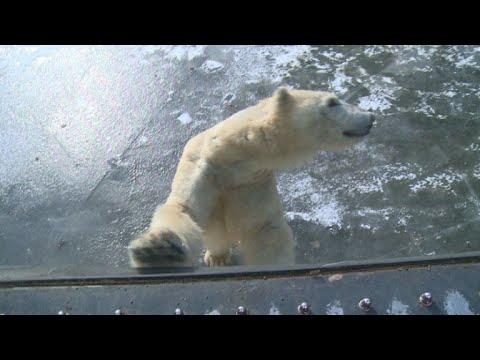 Polar bears at Berlin zoo enjoy icy weather