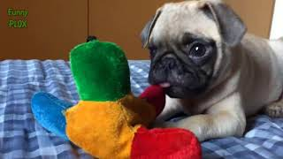 Funny And Cute Pug Videos Compilation 2017 - Funny Dog Videos 2016