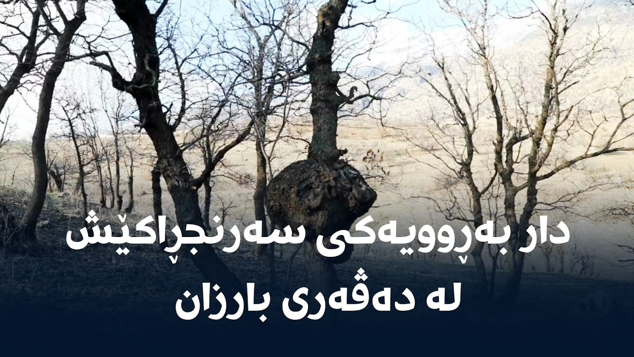 دار بەڕوویەکی سەرنجڕاکێش لە دەڤەری بارزان
