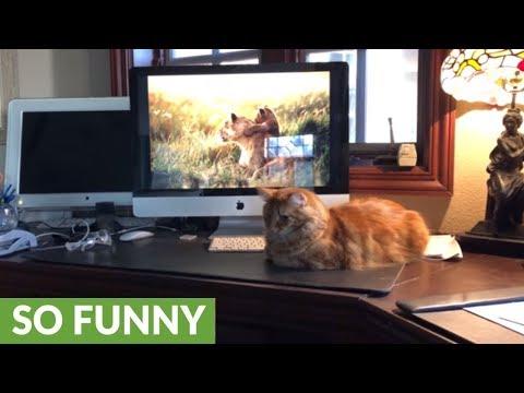 Affectionate Great Dane puppy complicates cat video