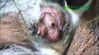 Empress小無尾熊出袋 Joey moving in the pouch