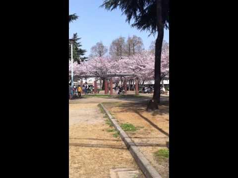 大阪市北区豊崎公園の花見
