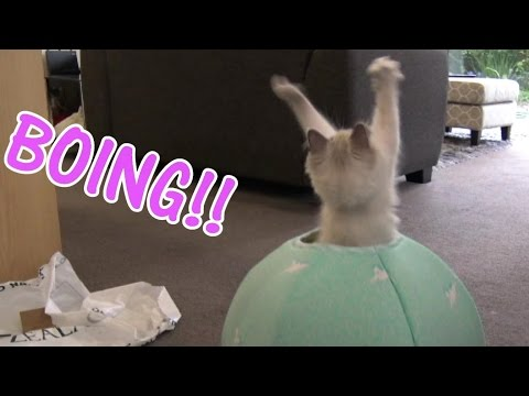 Ragdoll and Siberian kittens VS new Catball