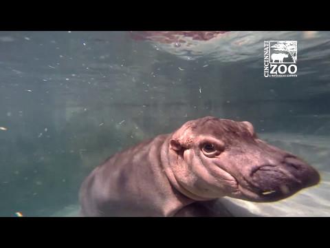 Baby Hippo Fiona with Scuba Diver - Cincinnati Zoo